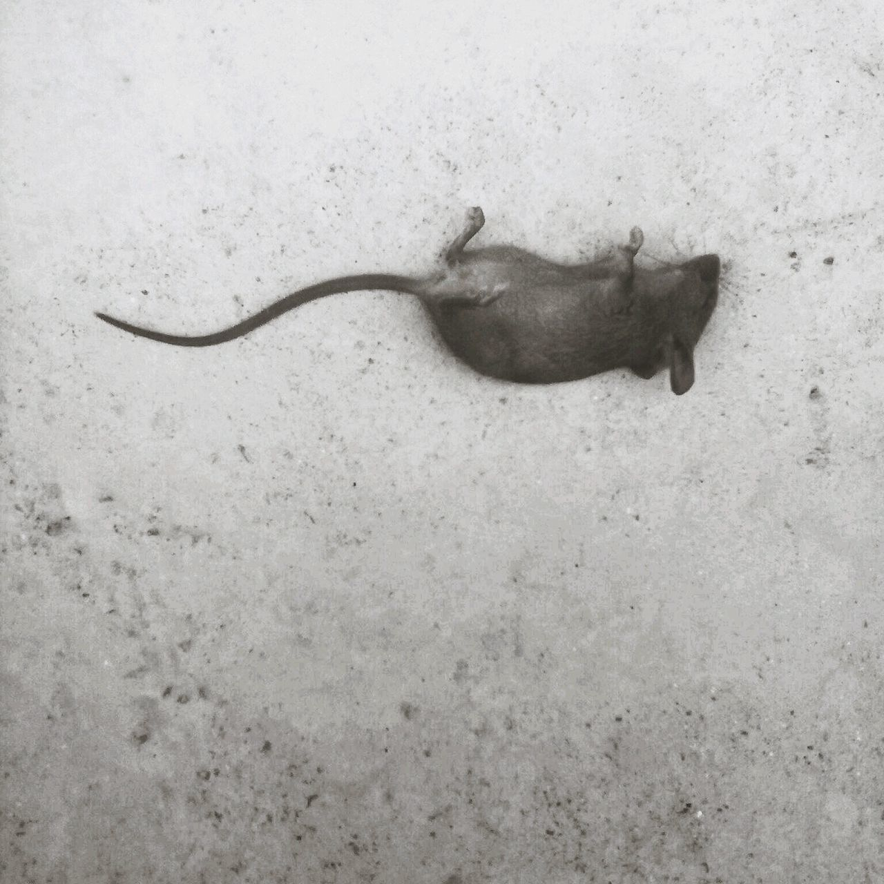 Beautiful stock photos of rat, NULL