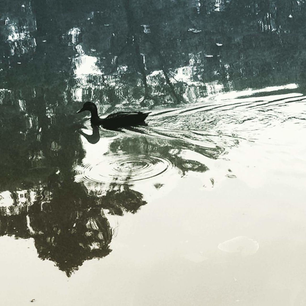 Water Reflection Swimming Mexico City Close-up One Animal LagoDeChapultepec