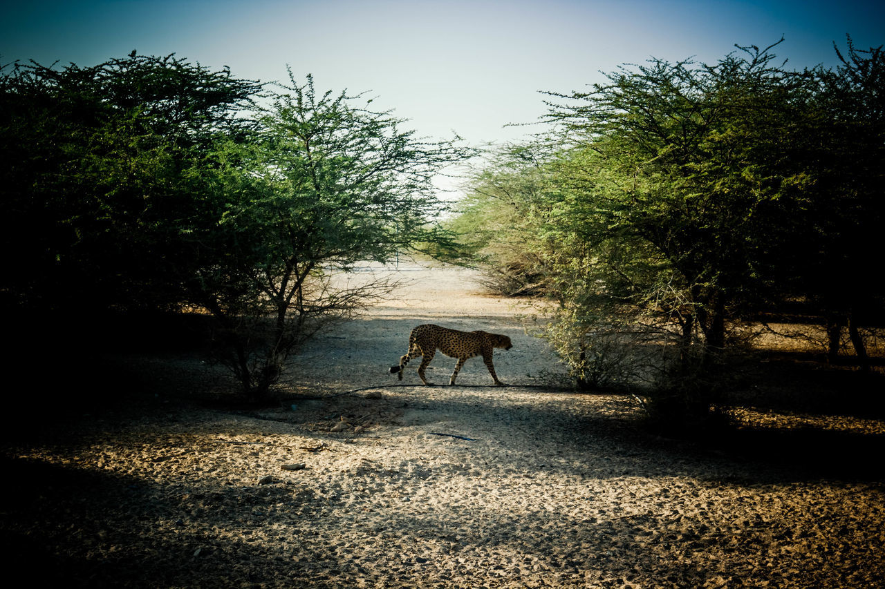 Day Leopard Nature One Animal Road The Way Forward Tree