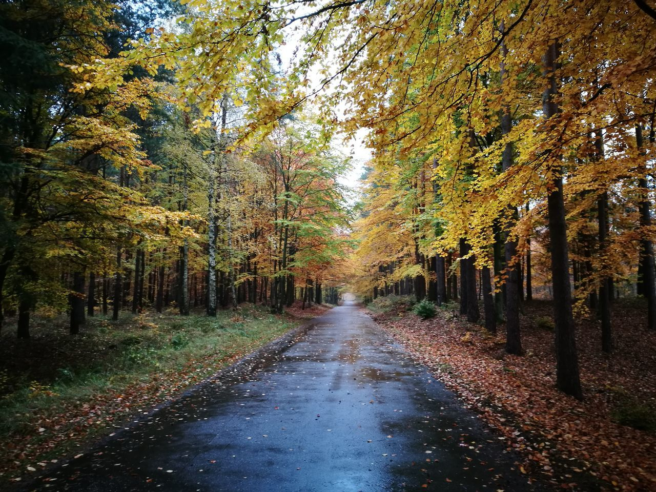 autumn, tree, change, leaf, nature, forest, the way forward, beauty in nature, no people, tranquility, tranquil scene, day, road, scenics, outdoors