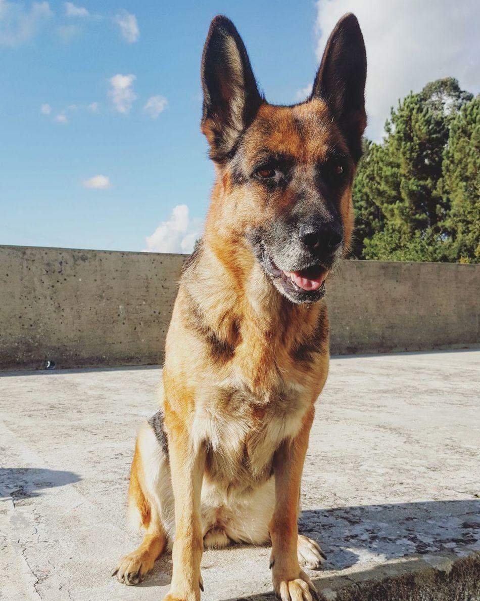 Beautiful stock photos of german shepherd,  Animal Themes,  Day,  Dog,  Domestic Animals