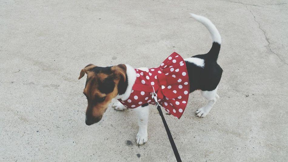 My Dog Mini Jack Russell Dressing Up Dog Coat