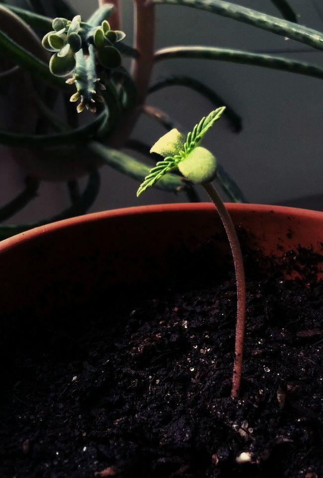 Grow Slow Marijuana Watching Plants Grow Growing Plants