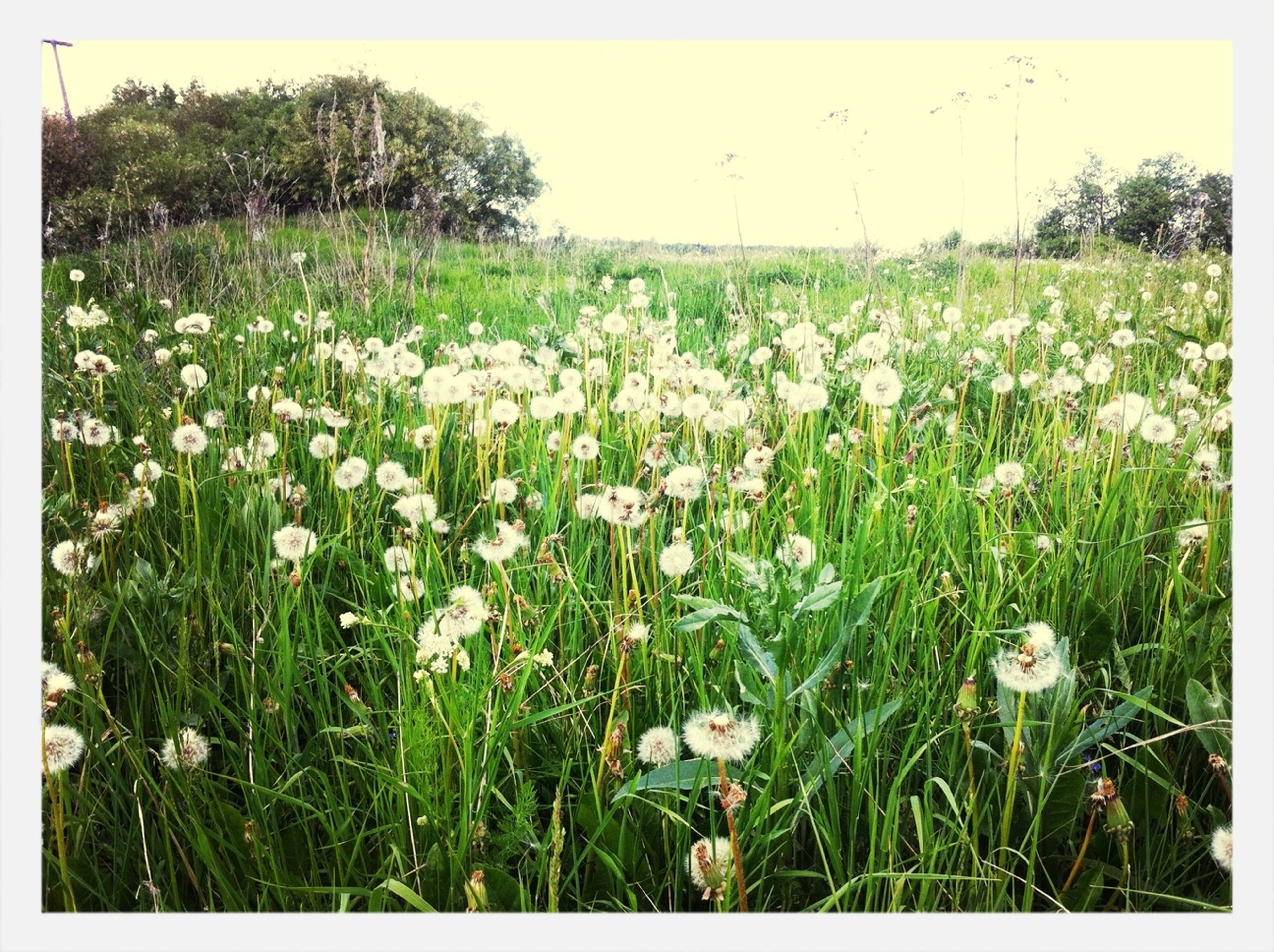 flower, field, growth, freshness, beauty in nature, grass, nature, fragility, plant, landscape, wildflower, meadow, blooming, tranquil scene, tranquility, rural scene, stem, clear sky, sky, transfer print