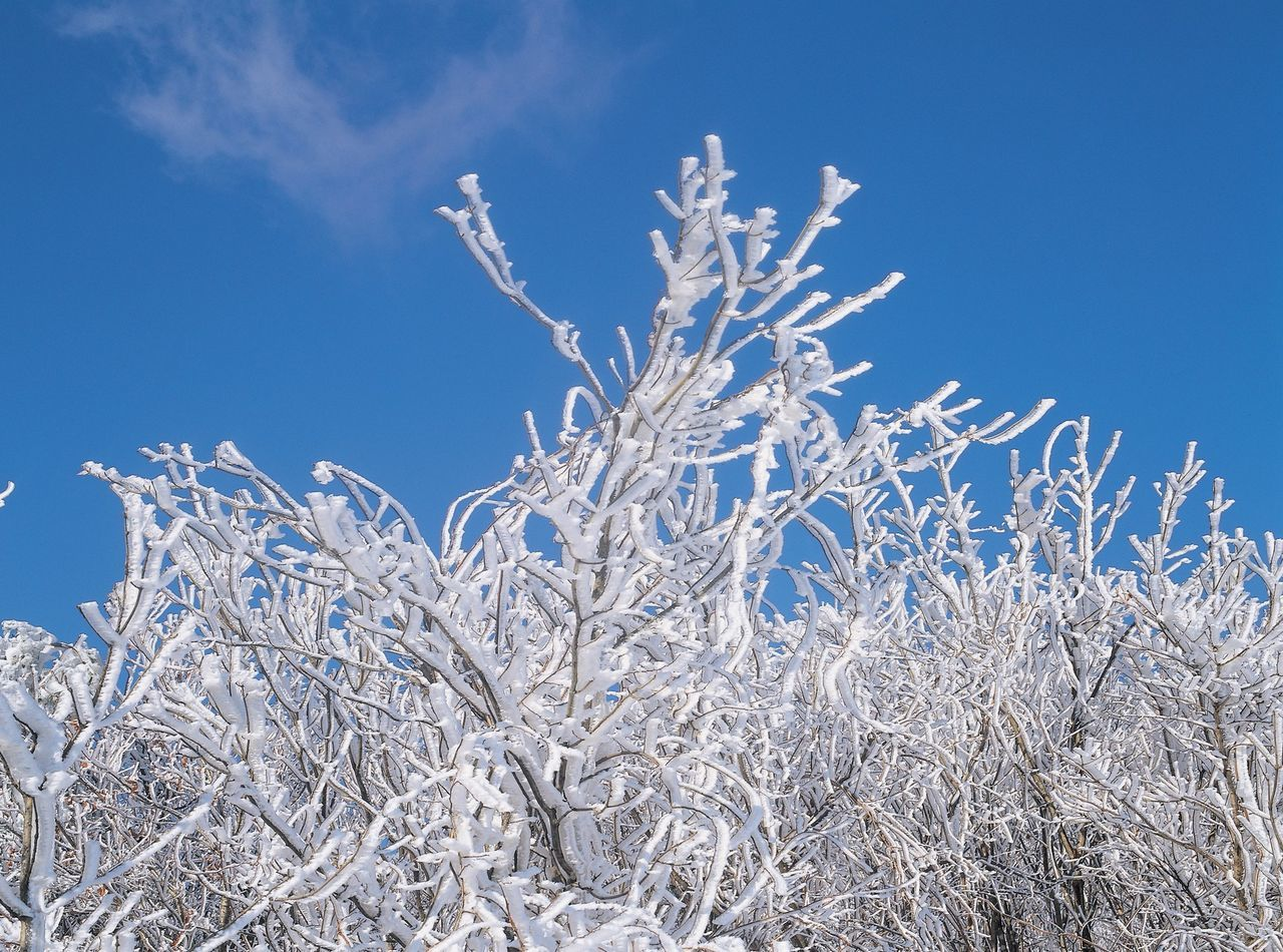 nature, blue, no people, cold temperature, beauty in nature, winter, clear sky, outdoors, day, tranquility, low angle view, growth, snow, plant, sky, field, close-up, freshness