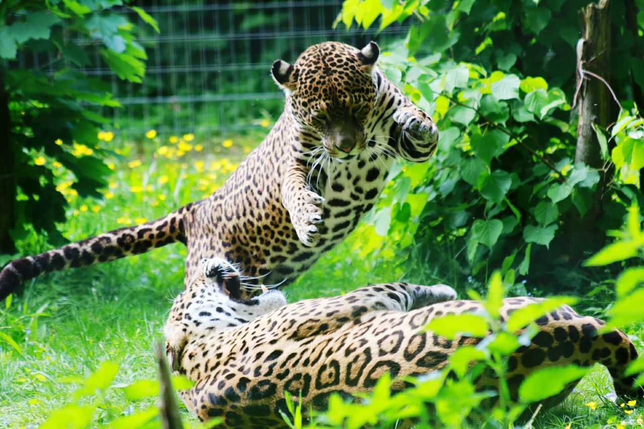 Leopard Pouncing Action Shot  Grass Beauty In Nature Animals In The Wild Animal Wildlife Animal Themes Animal Big Cat Big Cats Leopard2 Animals In The Wild Spotted Mammal One Animal No People Outdoors Green Color Grass Animal Markings Nature Day Safari Animals Cheetah