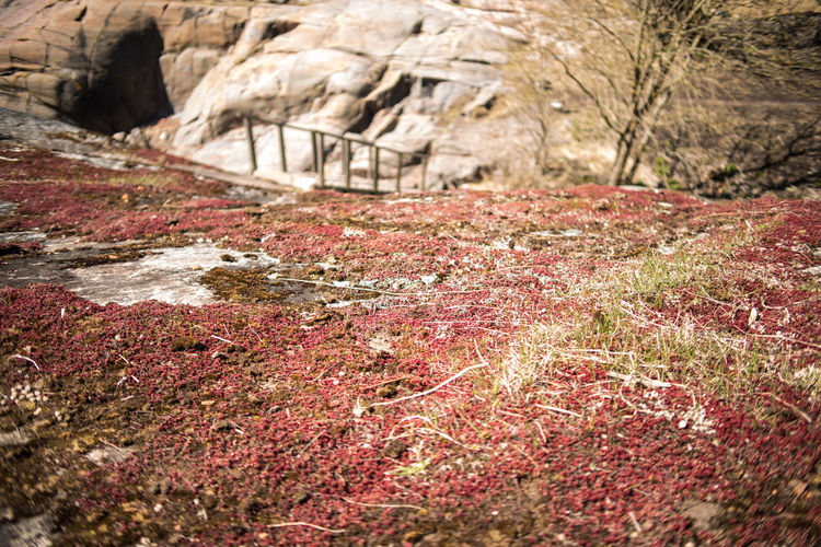 Red sedum carpet over the rocky formations of Suomenlinna Bare Tree Beauty In Nature Day Dry Grass Early Spring Grass Landscape Nature No People Northern Landscapes Northern Nature Outdoors Red Red Moss Red Sedum Rock - Object Scenics Sedum Sedum Caeruleum Spring Stairs Stone Suomenlinna Wooden