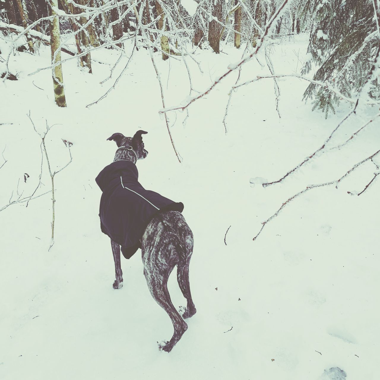 One Animal No People Nature Day Outdoors Dog Whippet Snow February Woods