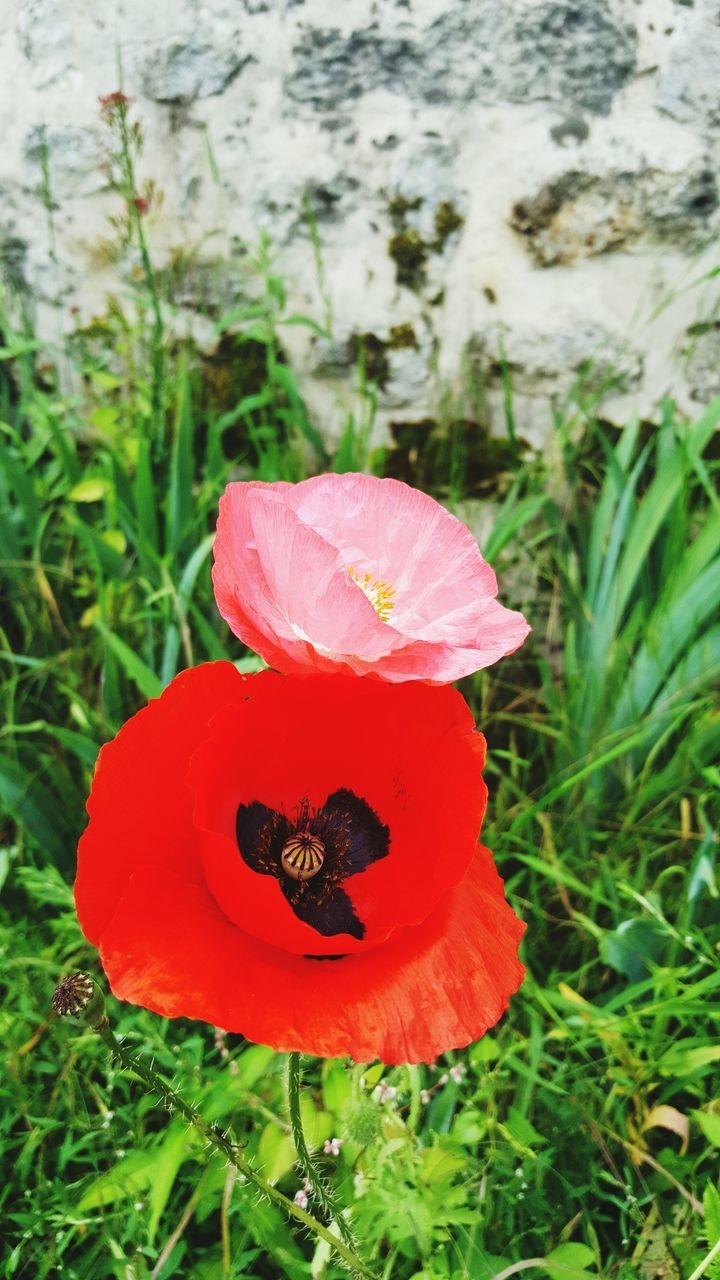 flower, petal, red, animals in the wild, growth, animal themes, insect, nature, beauty in nature, one animal, flower head, no people, animal wildlife, plant, fragility, day, focus on foreground, outdoors, bee, close-up, poppy, freshness, buzzing