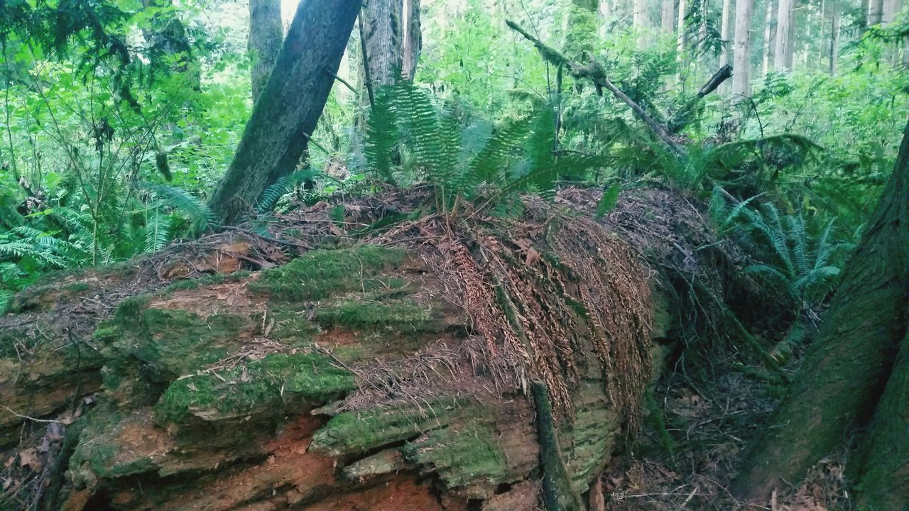 tree trunk, tree, nature, forest, green color, growth, no people, day, outdoors, moss, wood - material, plant, deforestation, woodland, branch, beauty in nature, tranquility, leaf, close-up, dead tree