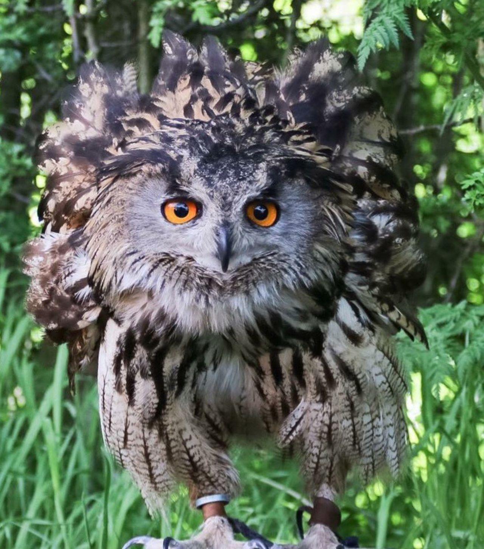 Photography Canon Birdsofprey Owl Owl Eyes Wildlife Nature Outdoors
