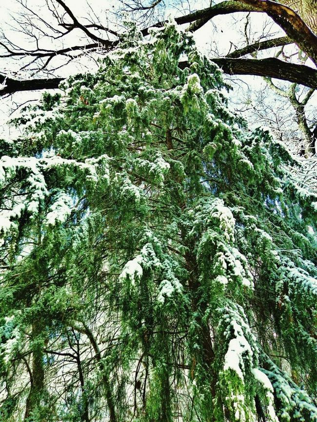 Evergreen Snow Dusting Green Its Cold Outside