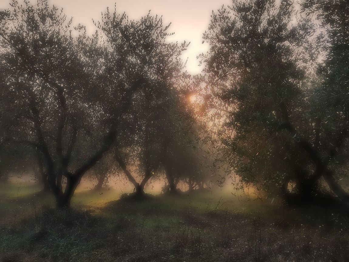 Tree No People Nature Outdoors Sunset Sky Beauty In Nature Close-up EyeEm Best Shots Tanta Roba Feel The Journey, Feel The Journey 2016😍 Fog Foggy Morning Foggy Day Fog In The Trees Nebbia Olive Tree Olivo Magical Trees Magia Natural Magic Forest Magic Moments Momento