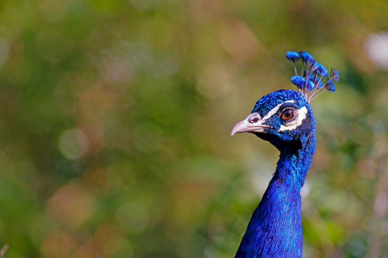 Beautiful stock photos of peacock, Beauty In Nature, alertness, animal Head, animal Themes