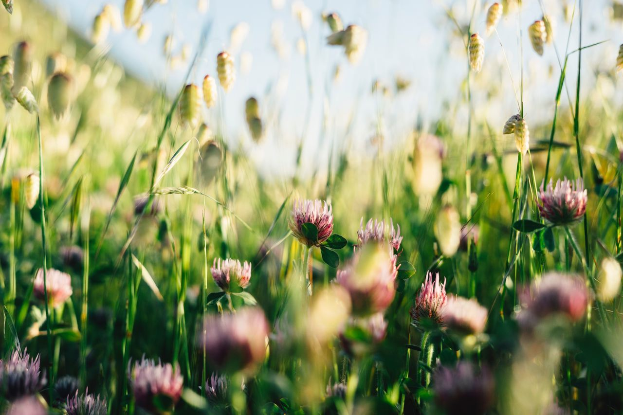 Flower Growth Plant Nature Field Beauty In Nature Uncultivated Wildflower Summer Meadow Selective Focus Flora Grass No People Spring Outdoors Poppy Blooming Fragility Freshness