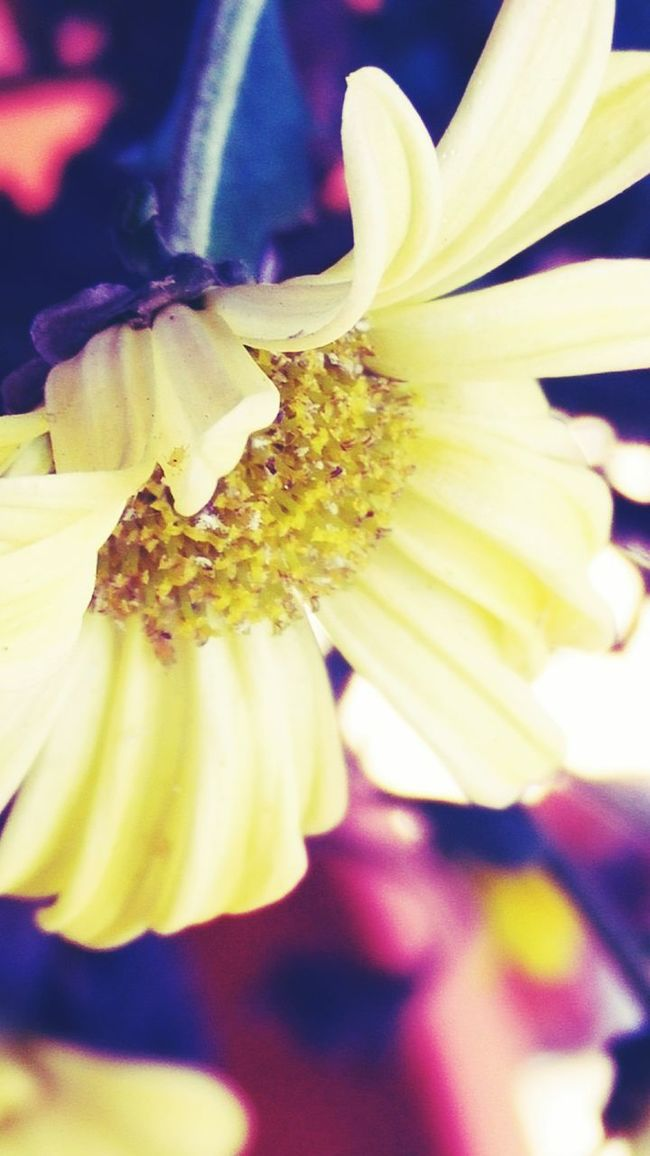 OnePlusOne📱 Color Os Super Macro Yellow Flower Petals Nature Photography Nature_collection EyeEm Best Shots - Nature Backtobasics Fine Art Photography The Week On Eyem Showcase March