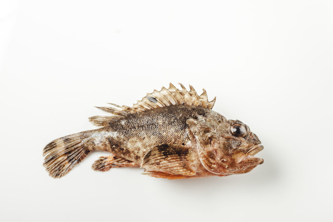 Fish on White Background Animal Themes Close-up Closeup Diet Dietfood Fish Fishing Food Food Photography Foodphotography Nobody Raw Raw Food Raw Photography Scorpion Scorpionfish Sea Seafood Studio Shot Tasty Water White Background