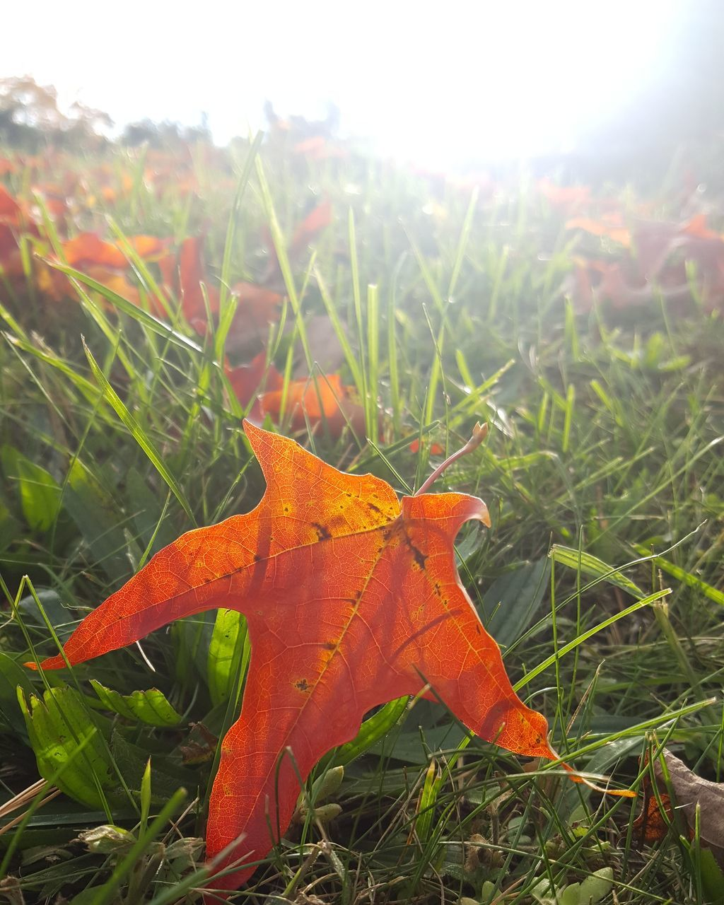 leaf, autumn, change, nature, grass, outdoors, growth, day, field, close-up, no people, plant, beauty in nature, maple leaf, green color, fragility, maple, sky