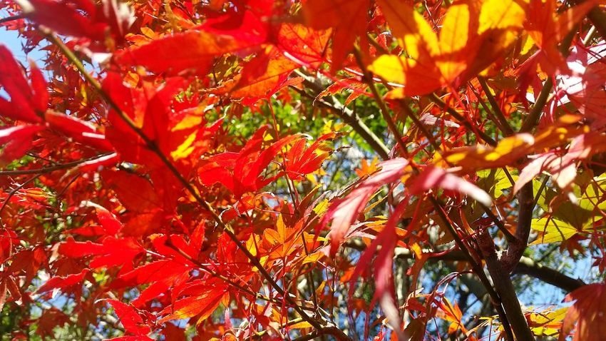 Japan Popular Photos 紅葉 紅葉🍁 Autumn Autumn Colors Autumn🍁🍁🍁 EyeEm Nature Lover Autumn Leaves