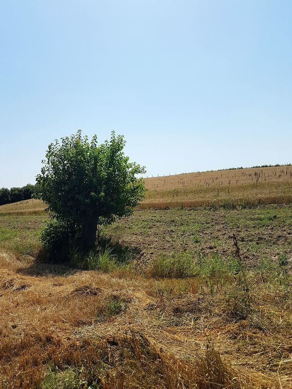 Agriculture Field Growth Outdoors Nature No People Day Rural Scene Clear Sky Sky Beauty In Nature Tree Freshness Langhe Piedmont Italy Crop  Cereal Crops Tranquility Nature Textures Travel Destinations