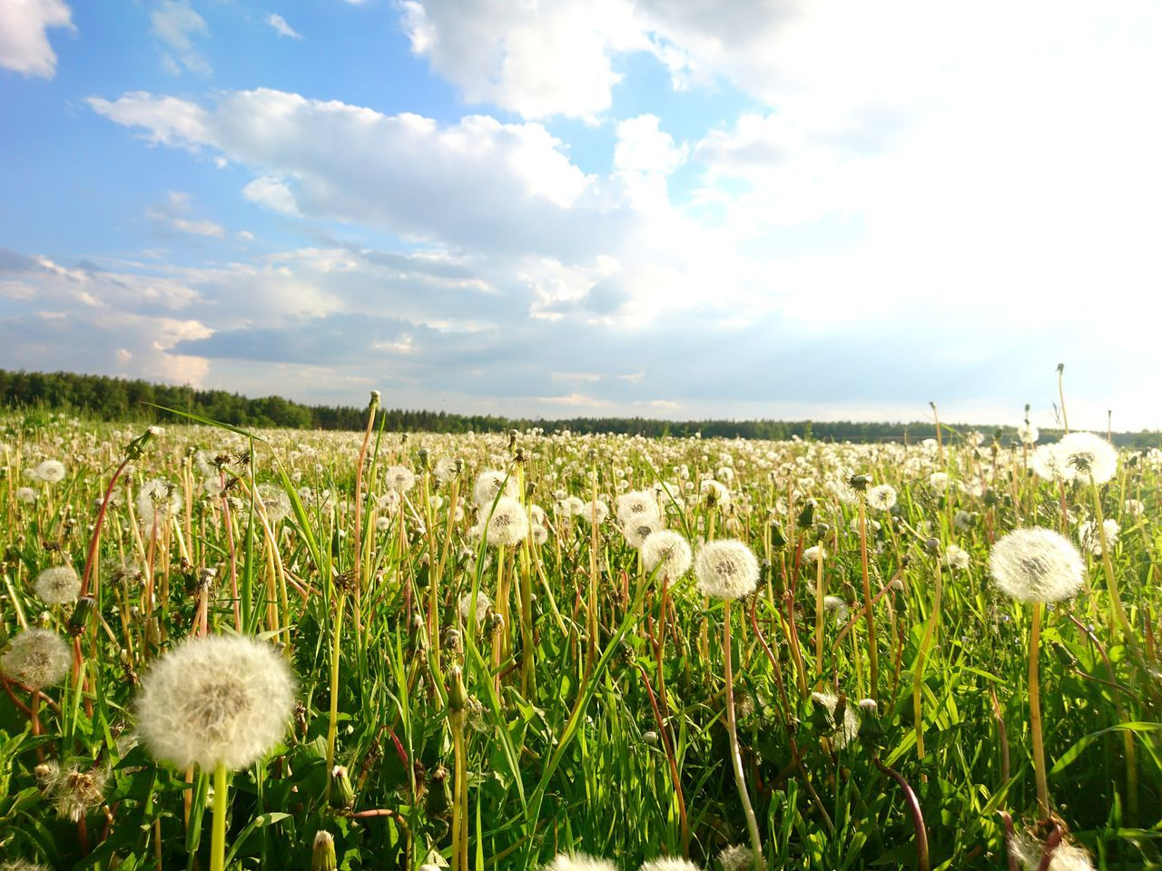 nature, growth, field, plant, beauty in nature, sky, tranquility, flower, day, outdoors, tranquil scene, no people, cloud - sky, agriculture, landscape, rural scene, grass, scenics, fragility, close-up, flower head, freshness