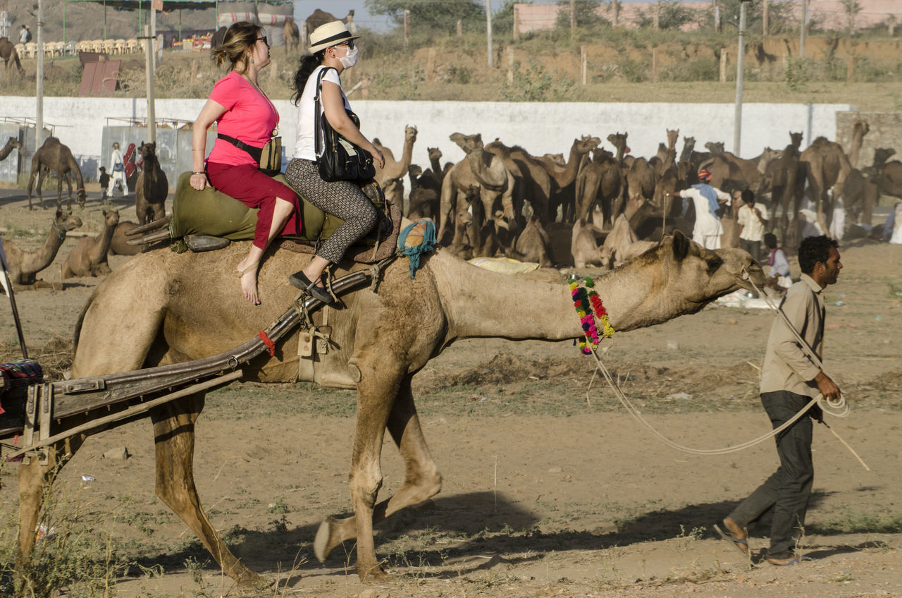 Camel Safari Adult Adults Only Animal Animal Themes Day Domestic Animals Five Animals Livestock Mammal Outdoors People The City Light Working Animal