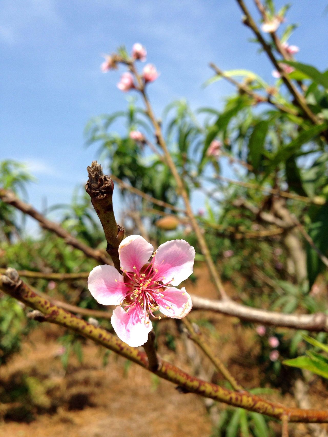 Peach blossom / flor de pêssego Flower Nature Pink Color Beauty In Nature Peach Blossom Flor Pêssego Nature Natureza