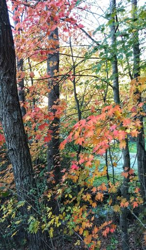 Fall 🍂 in 2017! Fall Beauty Fall 🍂 In 2017 Beauty In Nature Multi Colored Outdoors No People Trees And Leaves Colored Leaves Love FallintheSmokieMountains EyeEm Nature Lover EyeEm Gallery EyeEm Best Shots Cell Phone Photography