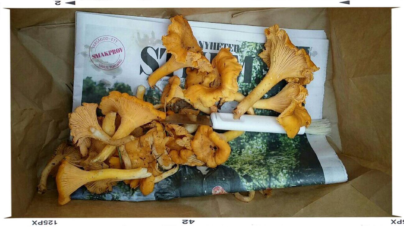Dagens och höstens första skörd. Mina älskade gula Kantareller ? Mushrooms Yellow Chantarelles Kantareller No Edit/no Filter