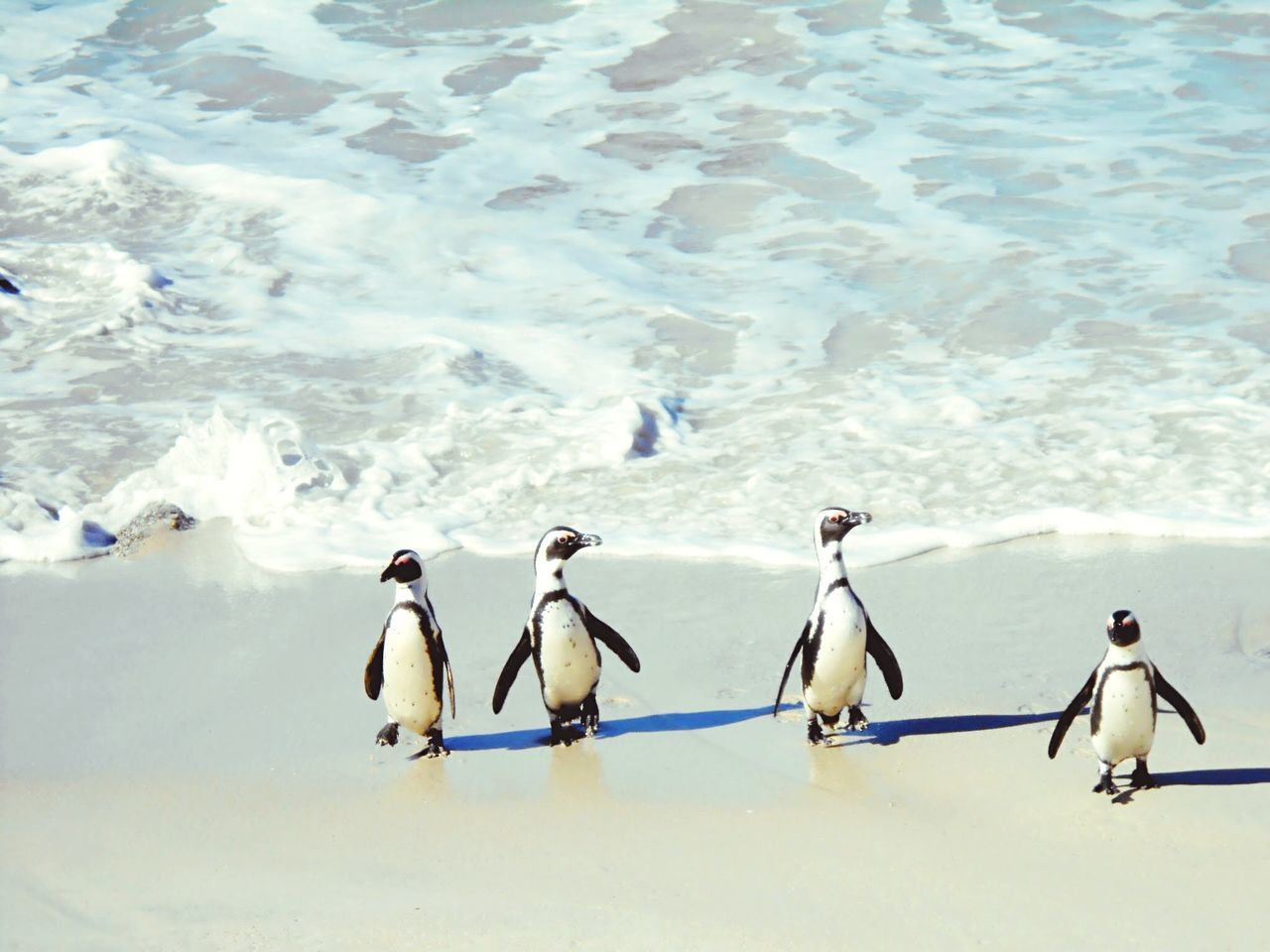 Beautiful stock photos of penguin, Animal Themes, Coastline, Day, Four Animals