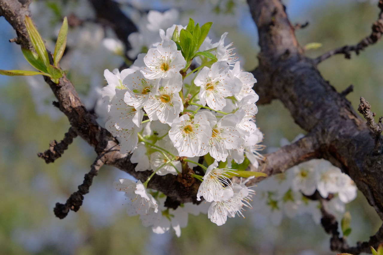 flower, white color, fragility, tree, blossom, apple blossom, branch, botany, apple tree, beauty in nature, growth, nature, springtime, orchard, freshness, no people, close-up, twig, day, petal, focus on foreground, stamen, flower head, outdoors