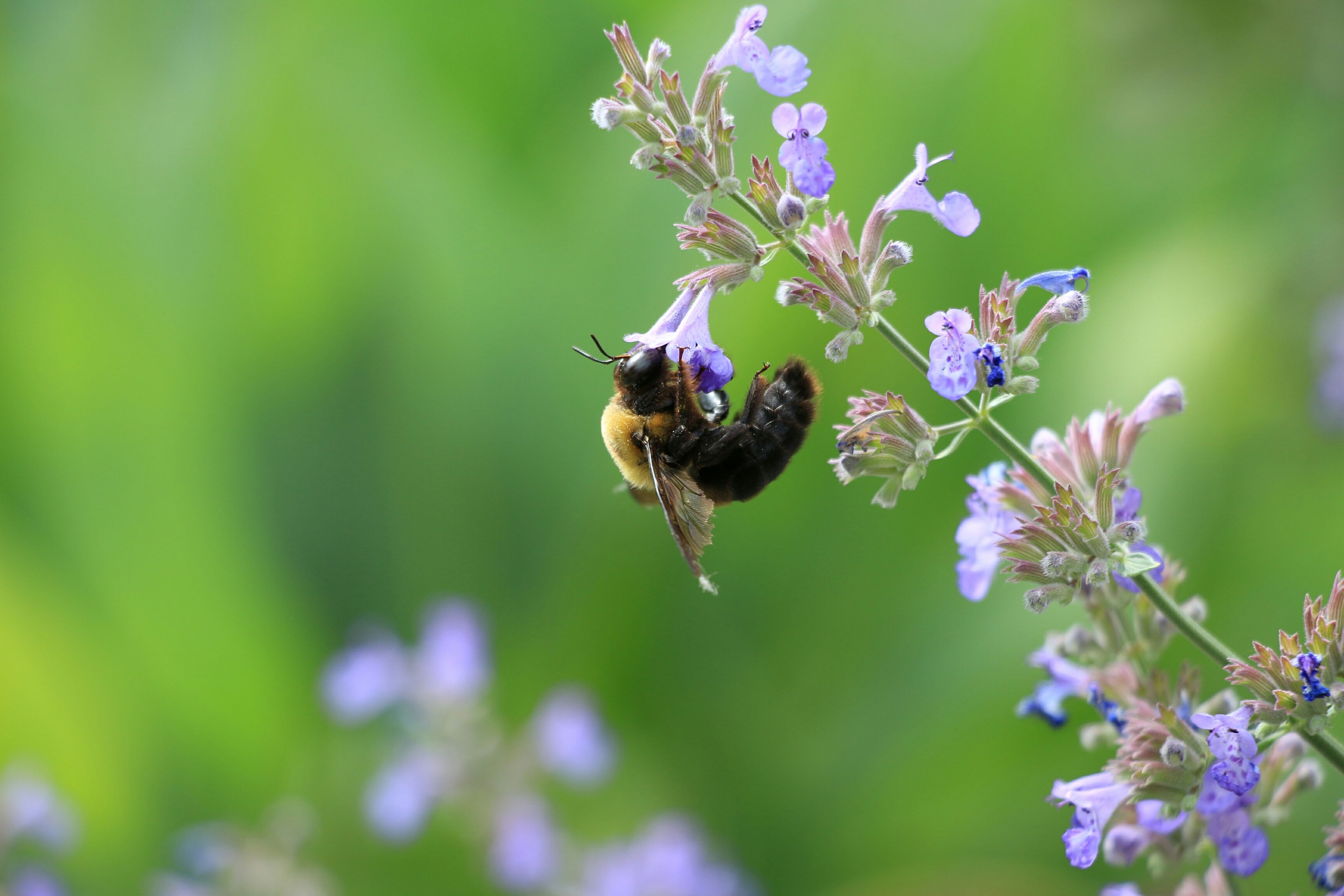 animal themes, insect, one animal, animals in the wild, wildlife, flower, bee, pollination, close-up, focus on foreground, purple, fragility, nature, selective focus, freshness, honey bee, beauty in nature, growth, symbiotic relationship, plant