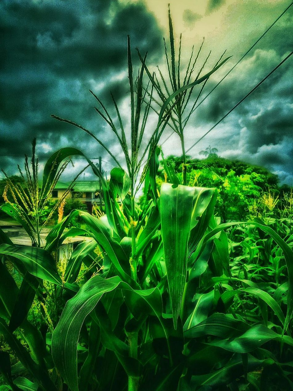 Corn Field Corn Green Green Green!  Green Color Nature Green Nature Photography Nature_collection Nature Is Art Plants 🌱 Beautiful Nature Growing Plants Growing Food