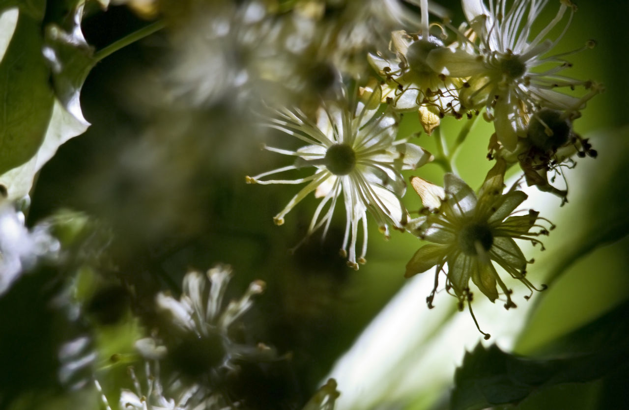 Blooming Blossom Botany Bud Close-up Day Extreme Close-up Flower Flower Head Fragility Green Leaf Linden Linden Tree Nature Petal Plant Pollen Selective Focus Shadows & Lights Summer Sunny Tree White Color