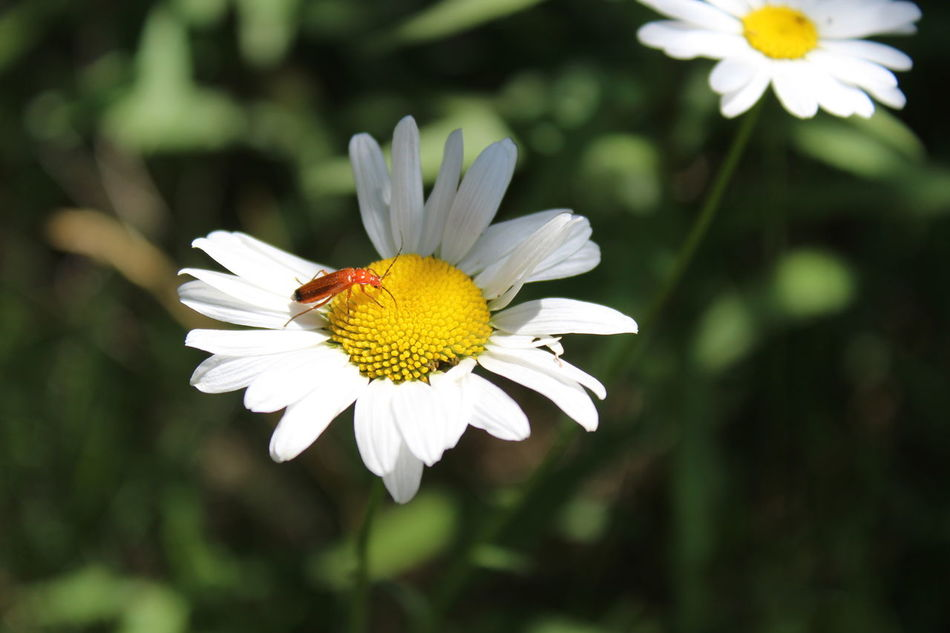 Daylight Beauty In Nature Nature Photography Yellow Centered Flowers White White Flower Petal Daisy Blossom Fragility Flower Photography Bugs Life
