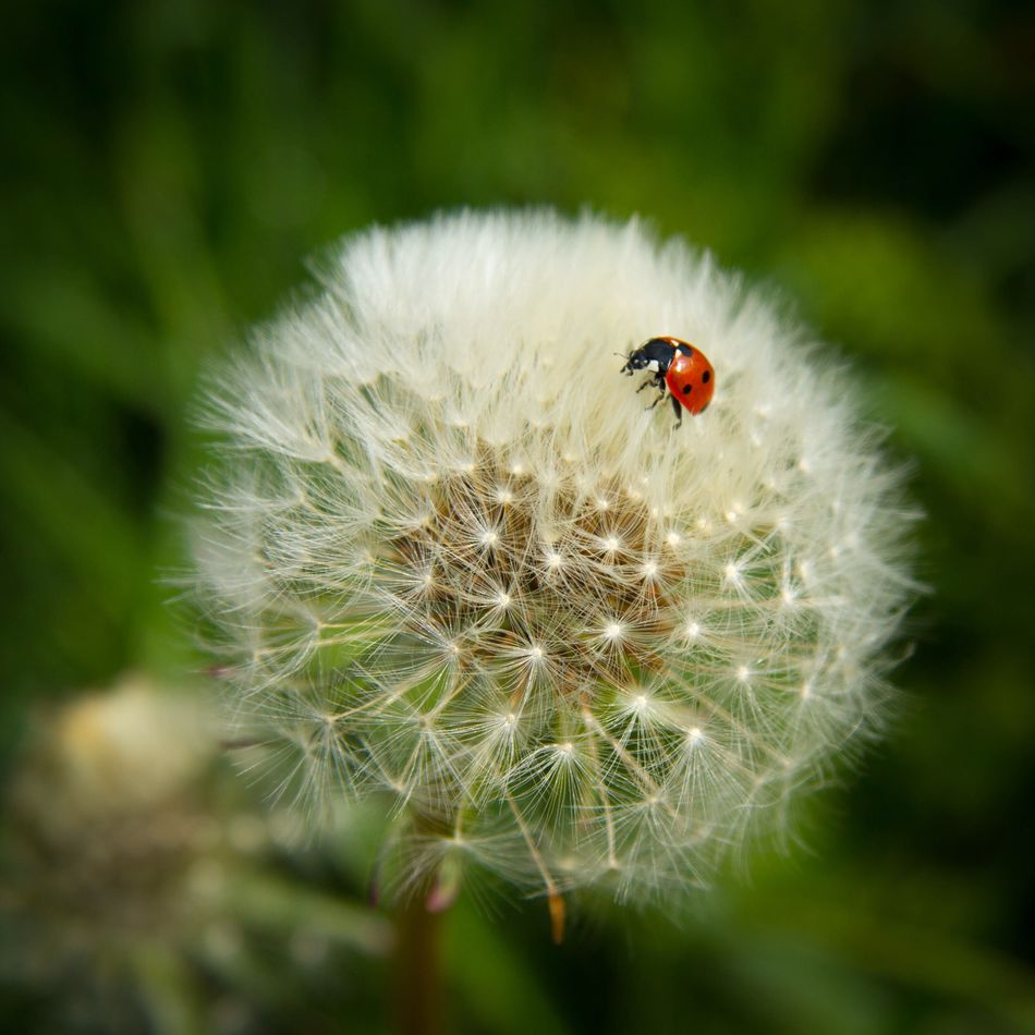 Ladybug Ladybird Nature Dandelion Wild Red Wildlife Balance Fragility Beauty In Nature Insect