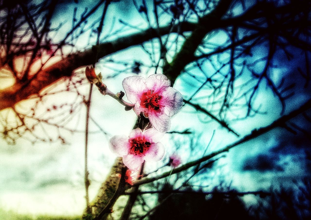 flower, fragility, nature, beauty in nature, growth, tree, branch, low angle view, day, blossom, springtime, close-up, no people, focus on foreground, freshness, pink color, flower head, outdoors, sky