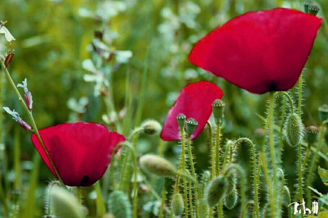 Natureza Flowers Nature Beauty In Nature Red Flower Growth Plant Fragility Freshness Poppy Close-up Flower Head No People Outdoors Lush - Description Day love, sun, spring, Nature Beauty In Nature
