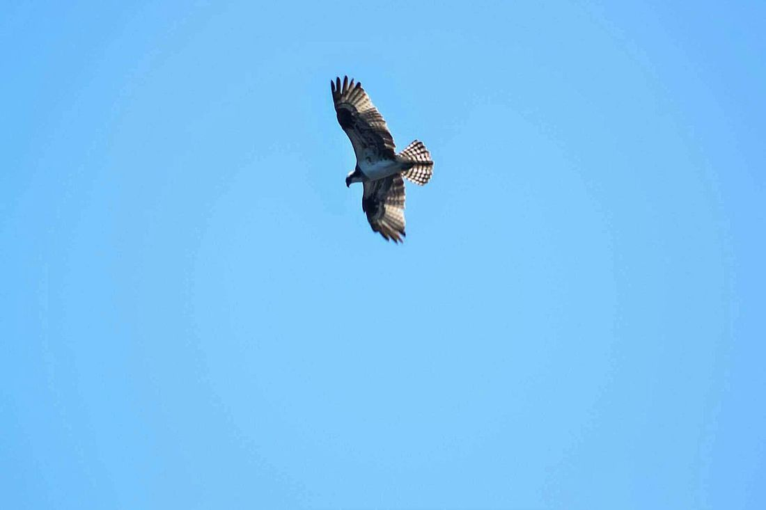 Flying Spread Wings Bird Of Prey One Animal Clear Sky Bird Animal Wildlife Outdoors Eagle - Bird Animals In The Wild Animal Themes No People Sky Day Bald Eagle Beauty In Nature