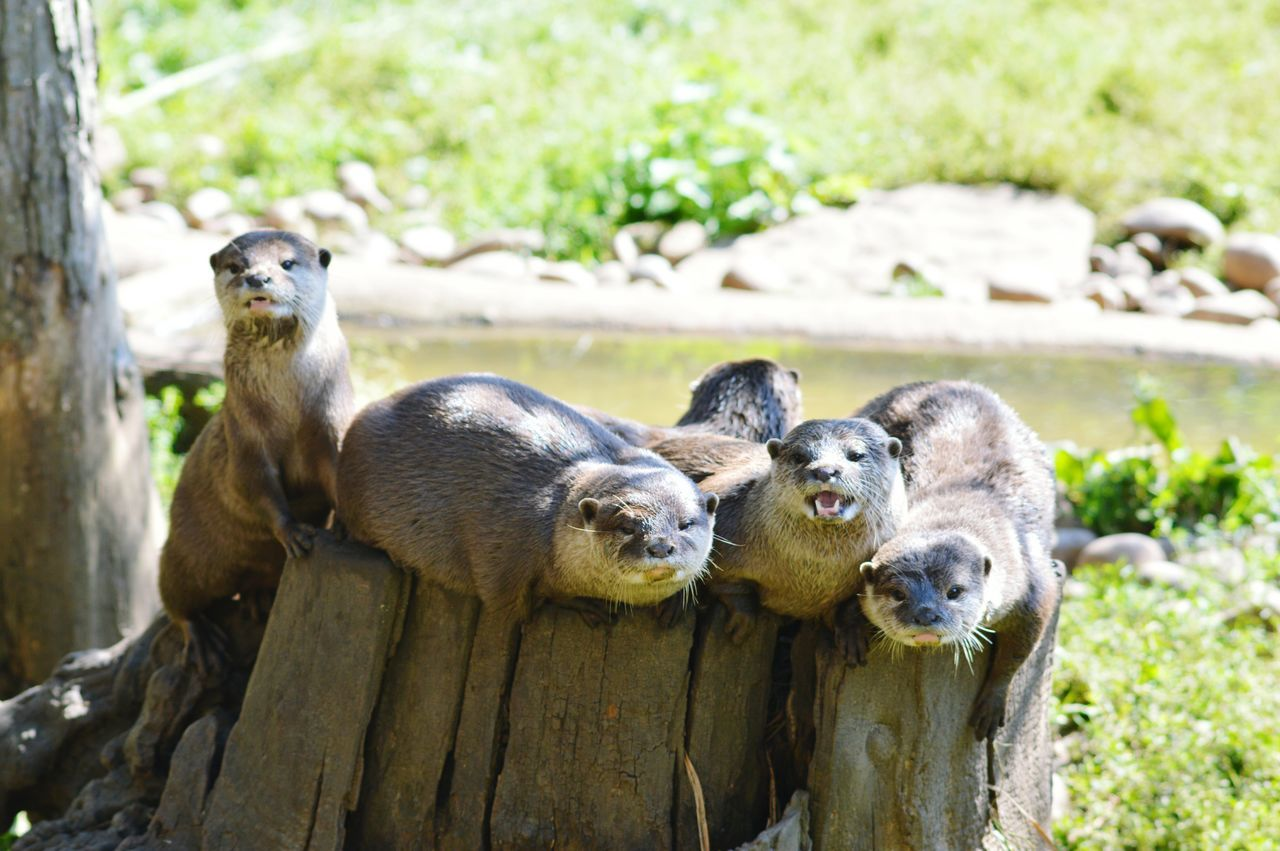 Otters Family Enjoying Life Wild Animal Animal Photography EyeEm Animal Lover Wildlife Photography Animal_collection Cute Check This Out