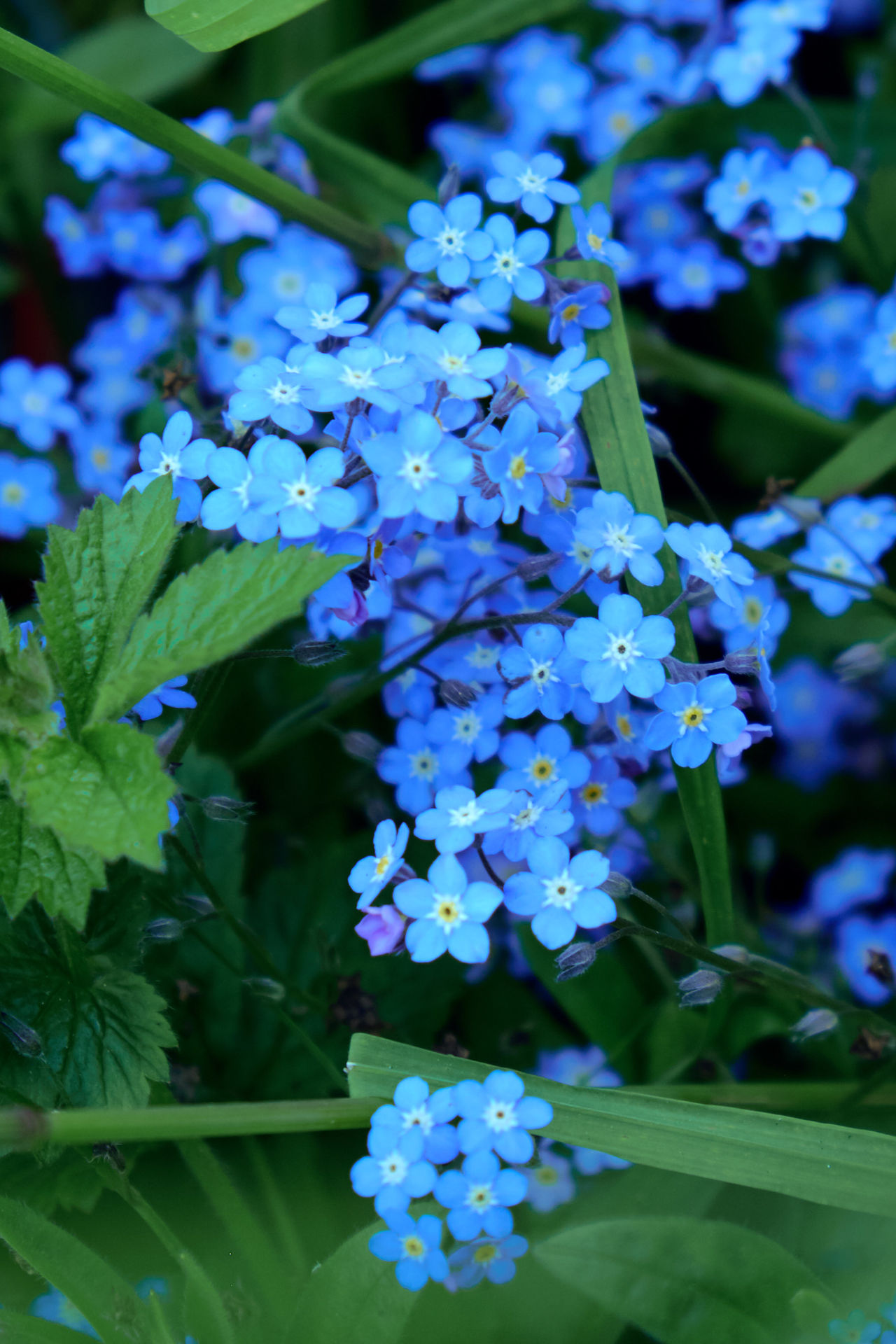 Forget me nots - Beauty In Nature Blooming Botany Close-up Flower Flower Head Forget Me Not Fragility Freshness Green Color Growth Nature Outdoors Petal Plant Purple Scented