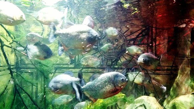 Piranhas Phirana Group Of Fishes Group Of Fish
