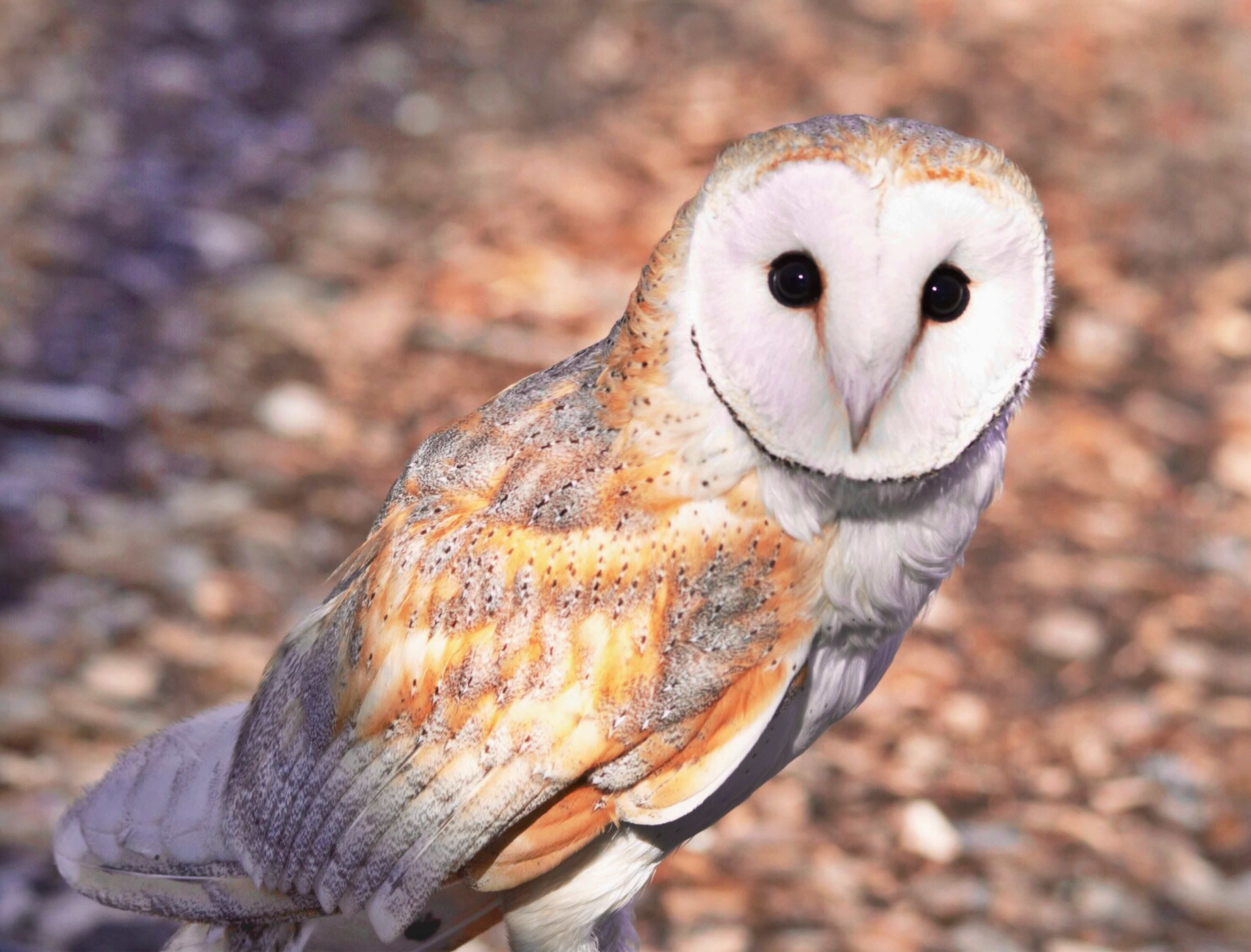 animal themes, one animal, animals in the wild, wildlife, focus on foreground, close-up, portrait, front view, bird, outdoors, field, looking at camera, animal head, owl, day, nature, no people, beak, bird of prey