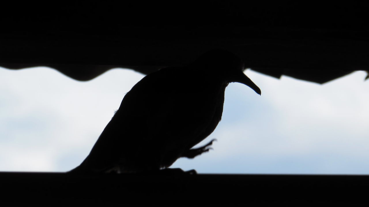 bird, animals in the wild, silhouette, animal themes, one animal, perching, animal wildlife, crow, no people, outdoors, close-up, raven - bird, day, nature, sky