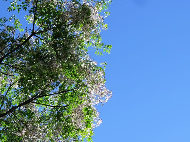 https://en.wikipedia.org/wiki/Melia_azedarach Beauty In Nature Blue Blue Color Branch Clear Sky Day Green Green Color Low Angle View Nature Outdoors Paraíso Scenics Tranquil Scene Tranquility Tree