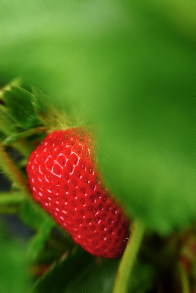 Fallbrook is home to more than avocados and wine grapes. We also have an abundance of strawberry fields (forever) where you can pick them fresh, yourself Avian Fallbrook Freshness Grapes 🍇 Growth Pick Your Poison Pick Yourself Strawberries