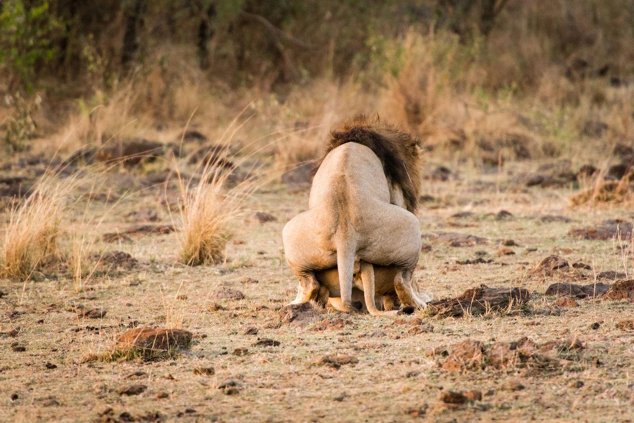 Africa Animal Wildlife AnimalBehaviour Animallove Animals In The Wild Kenya Lion Makinglove Mammal Masaimara Nature No People One Animal Outdoors Safari Safari Animals