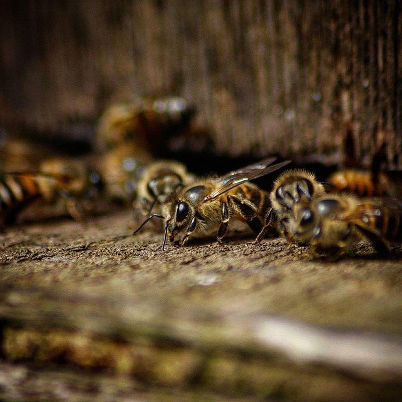 Honey and the bee 🐝🐝 Canoneos Canon40d TeamCanon Teamdslr Malaysia Kelantan Sigma70300mm Wildlifephotography Microlens  Canonawesome Beefarm Cameronhighland Pahang