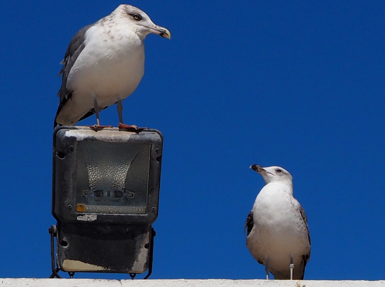bird, animals in the wild, animal themes, animal wildlife, perching, seagull, one animal, day, outdoors, sea bird, nature, clear sky, no people, sunlight, close-up, sky