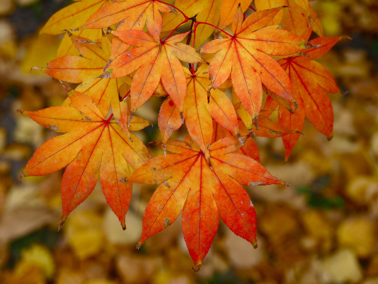 Fire Autumn Beauty In Nature Change Change Your Perspective Close-up Day Fire Leaf Leaves Maple Maple Leaf Nature No People On Fire Orange Color Outdoors Rain Tree Vibrant Color Water Wet Yellow